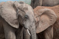 That s my ear two elephants merge as if one in a close up shot of a herd around a waterhole in south africa Royalty Free Stock Photography