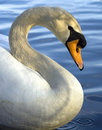 S is for Swan Royalty Free Stock Images