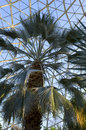 Sabal Palmetto in Conservatory Royalty Free Stock Photo