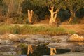 Sabie river dry in kruger national park south africa at sunset with reflection of trees in water Royalty Free Stock Images