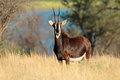 Sable antelope female hippotragus niger in natural habitat south africa Royalty Free Stock Photos