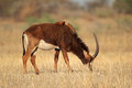 Sable antelope female hippotragus niger south africa Royalty Free Stock Image