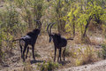 Sable antelope in Kruger National park, South Africa Royalty Free Stock Photo