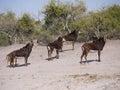 Sable antelopes antelope hippotragus niger in botswana Stock Images