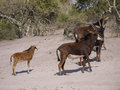 Sable antelopes antelope hippotragus niger in botswana Stock Photography