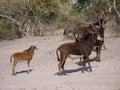 Sable antelopes Royalty Free Stock Photo