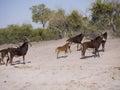 Sable antelopes antelope hippotragus niger in botswana Stock Photos