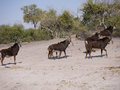 Sable antelopes antelope hippotragus niger in botswana Royalty Free Stock Photo