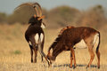 Sable antelopes pair of hippotragus niger south africa Royalty Free Stock Images