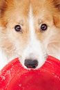 Sable border collie holding toy looking camera portrait Stock Photo