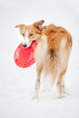 Sable border collie holding toy looking camera portrait Stock Image