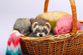 Sable ferret in basket two ferrets lying the with colorful balls of yarn Royalty Free Stock Image