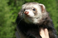 Sable ferret in the summer mustela putorius furo green background Stock Photos