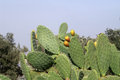 Sabra plant bush of with fruits and mantis Stock Photography