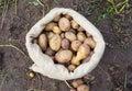 A sack of freshly picked potatoes sarpo mira Royalty Free Stock Photography