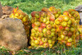Sacks with apples under a apple tree Royalty Free Stock Photography