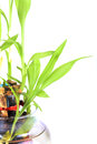 Sacred bamboo shoots beautiful shot of on white background Royalty Free Stock Photos