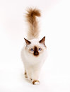 Sacred birman cat purebred isolated on white background in studio Royalty Free Stock Image