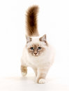 Sacred birman cat purebred isolated on white background in studio Royalty Free Stock Photography