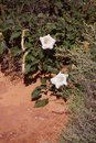 Sacred datura meteloides a white poisoonus flower used by some native americans to induce visions near zion national park Royalty Free Stock Photography