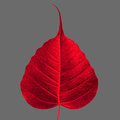 Sacred fig leaf red on gray background Stock Photography
