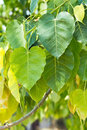 Sacred fig tree close up of s leaves also call pipal bohhi bo peepul ficus religiosa l Royalty Free Stock Image