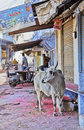 Sacred Hindi cow Shri Nathji Mandir Rajasthan Stock Photos