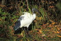 Sacred ibis the adult in the grass Royalty Free Stock Photos