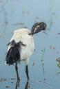 Sacred ibis african sacred ibis threskiornis aethiopicus in nature of thailand Royalty Free Stock Image