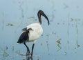 Sacred ibis african sacred ibis threskiornis aethiopicus walking for food in nature of thailand Stock Image