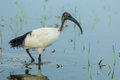 Sacred ibis african sacred ibis threskiornis aethiopicus walking for food in nature of thailand Stock Photos