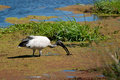 Sacred ibis feeding african isimangaliso wetland park south africa Royalty Free Stock Photos