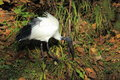 Sacred ibis the looking for some food in the soil Stock Photography