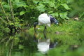 Sacred ibis the in water Royalty Free Stock Images