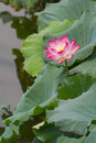 Sacred lotus beautiful pink flower growing in the wild at the west lake of hangzhou china Stock Photography