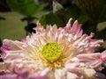 Sacred lotus flower Royalty Free Stock Photo