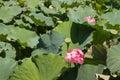 Sacred lotus flowers Royalty Free Stock Photo
