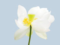 Sacred white lotus a blooming on isolation Royalty Free Stock Photography