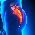 Sacrum bone anatomy pain with highlighted zone concept Stock Photo