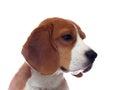 Sad beagle dog portrait isolated on white Royalty Free Stock Photo