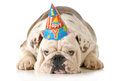 Sad birthday dog english bulldog wearing hat isolated on white background Stock Images