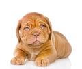 Sad Bordeaux Puppy Dog. Isolat...