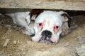 Boxer dog portrait Royalty Free Stock Photo