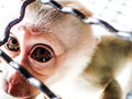 Sad caged monkey infant looking though the bars Royalty Free Stock Photos