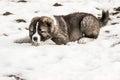 Sad Caucasian shepherd dog