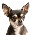 Sad Chihuahua with Tear in Eye Royalty Free Stock Images