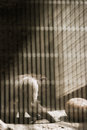 Sad Chimp in a Cage Royalty Free Stock Photo