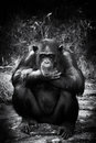 Sad chimp Royalty Free Stock Photo