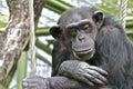 Sad Chimpanzee Thinking About ...