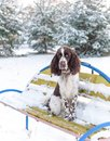 A sad dog breed English Springer Spaniel sits alone on bench in winter park Royalty Free Stock Photo